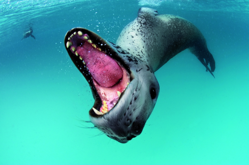 A leopard seal bares teeth in a threat display to protect her kill.