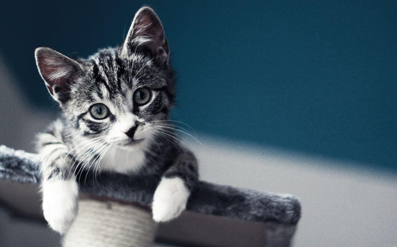 chaton-gris-arbre-chat
